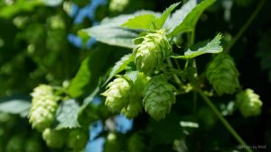 Hops on vine