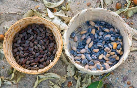 The Center for Traditional Medicine, Parota Seed in a Basket
