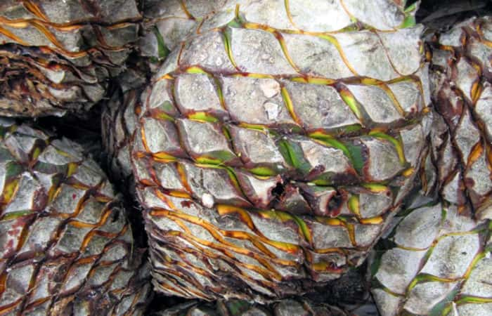Agave Azul, Pineapple