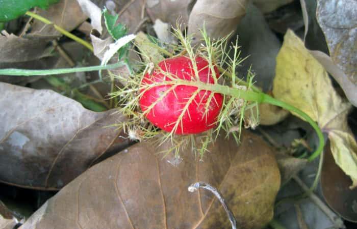 Wild Tomato, tomatoes, Plants