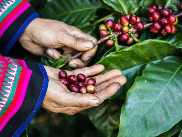 woman collecting coffee beans